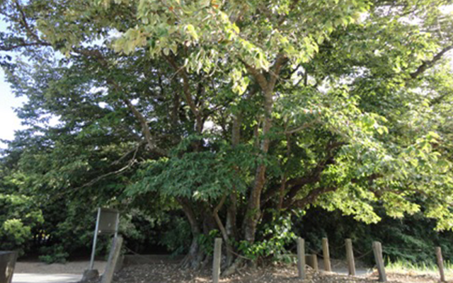 円立寺の菩提樹