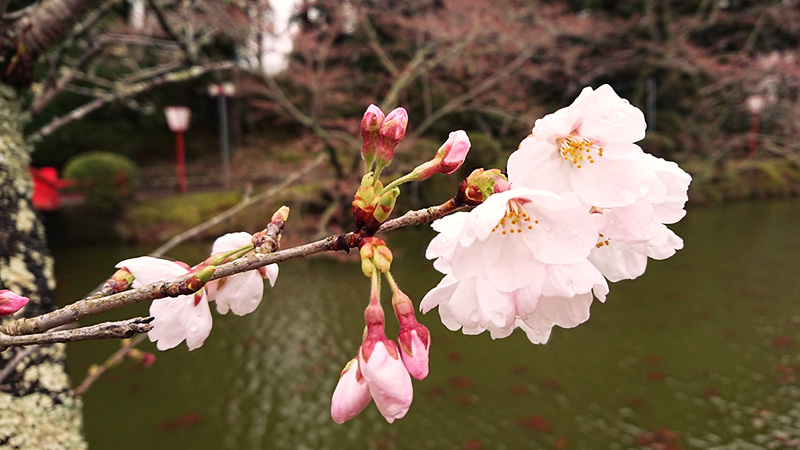 3月22日(木)の開花状況