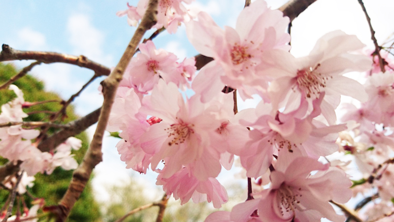 4月06日(金)の開花状況
