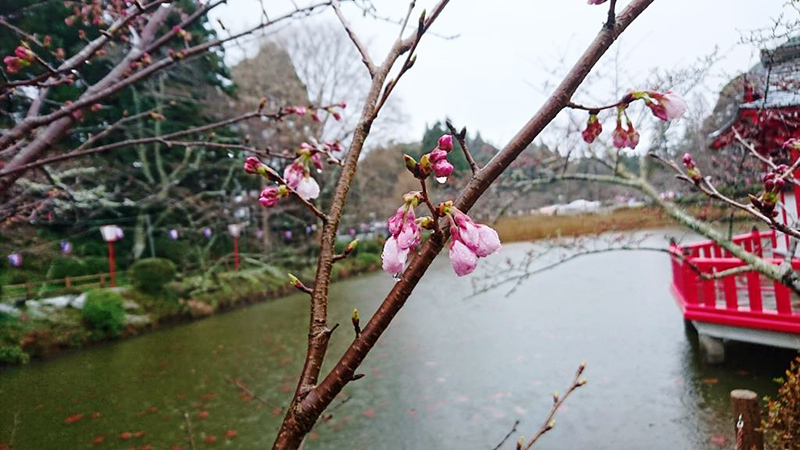 3月27日(月)の開花状況