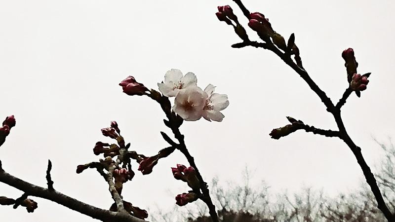 3月19日(月)の開花状況