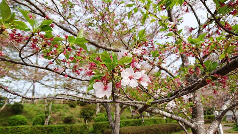 4月17日(月)の開花状況