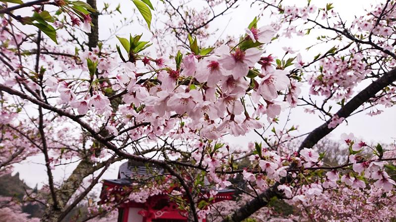 4月11日(火)の開花状況