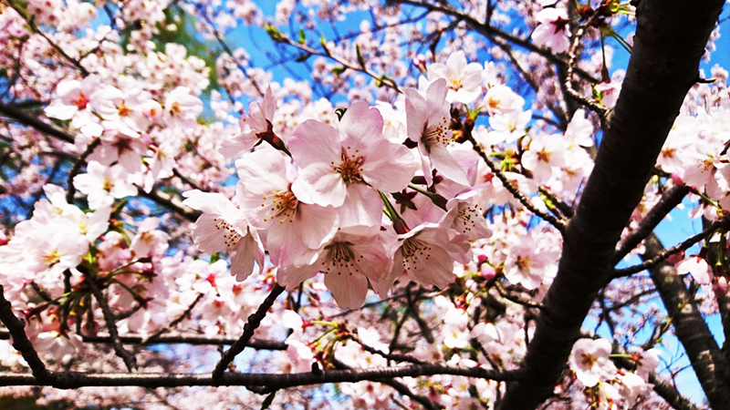 4月10日(月)の開花状況
