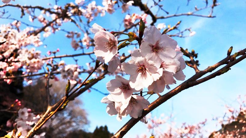 4月05日(水)の開花状況