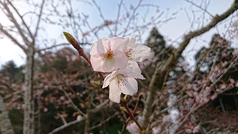 3月31日(金)の開花状況