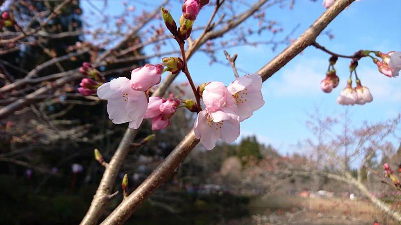 3月29日(水)の開花状況
