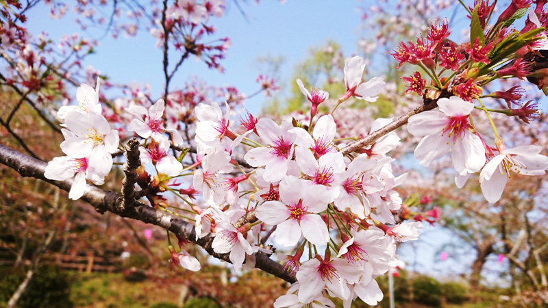4月02日(月)の開花状況