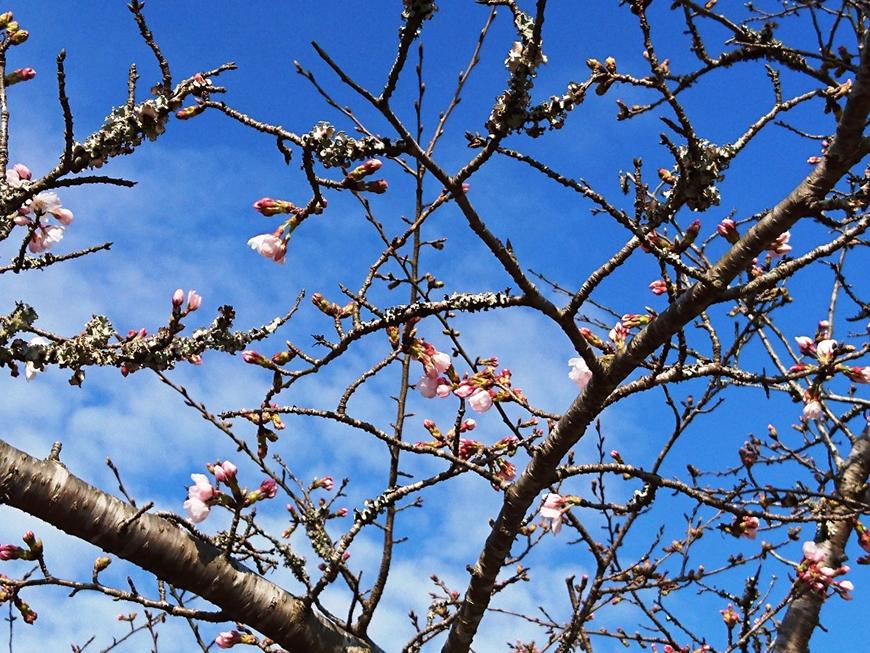 3月22日(火)の開花状況