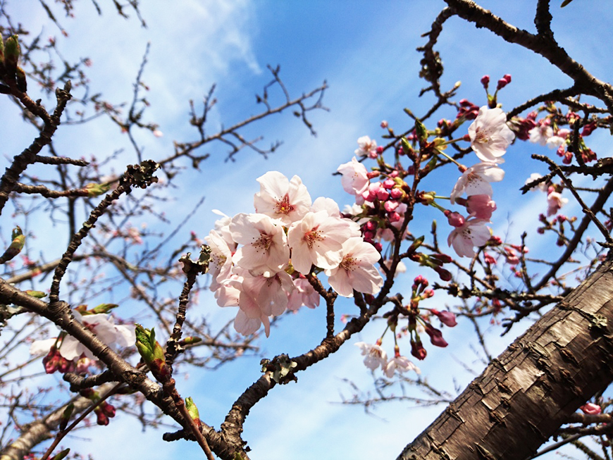 3月30日(水)の開花状況