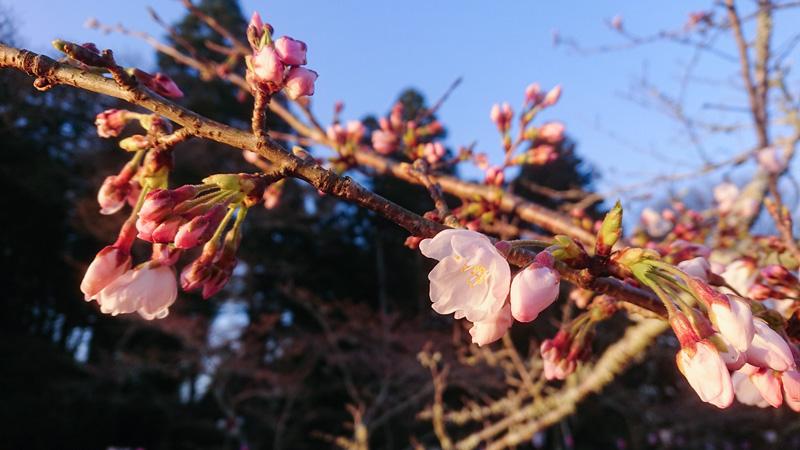3月25日(月)の開花状況