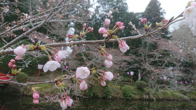 3月26日(火)の開花状況