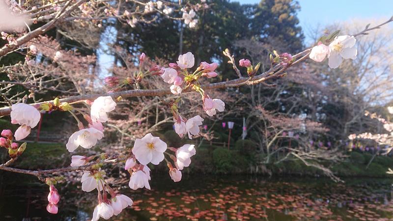 3月27日(水)の開花状況