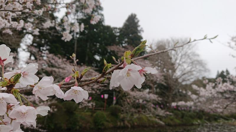 3月29日(金)の開花状況