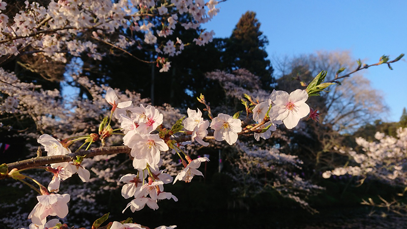 4月01日(月)の開花状況