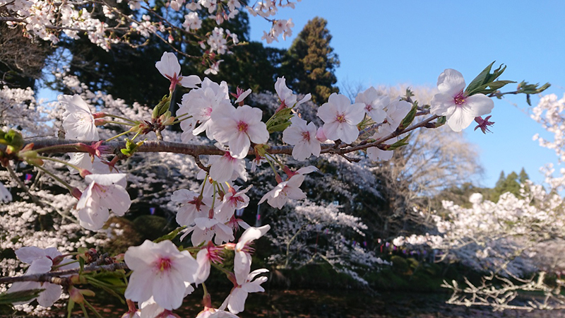 4月03日(水)の開花状況