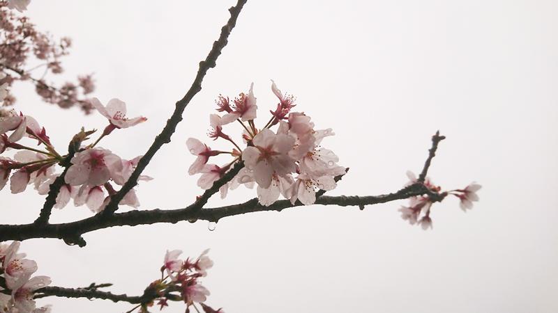 4月08日(月)の開花状況