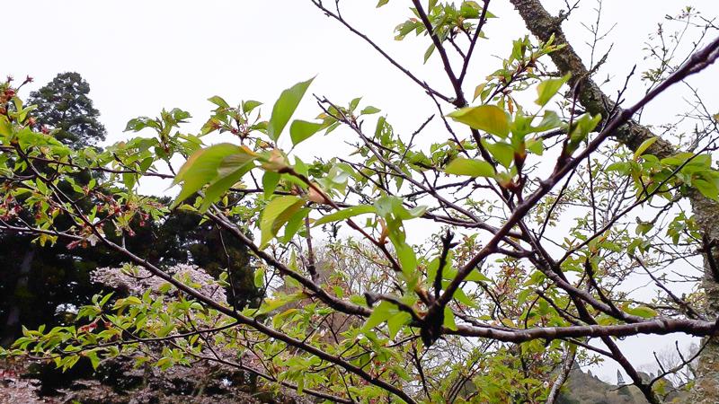 4月10日(水)の開花状況