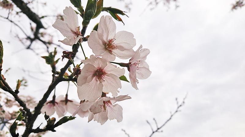 4月12日(金)の開花状況